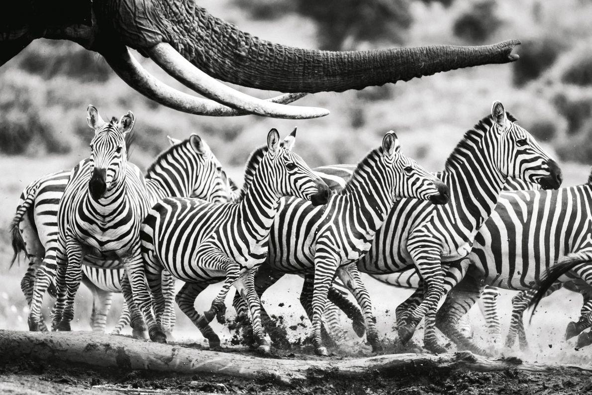 """""""An einem Wasserloch in Kenia rückten die Zebras einem Elefanten immer mehr auf die Pelle. Als ..."""