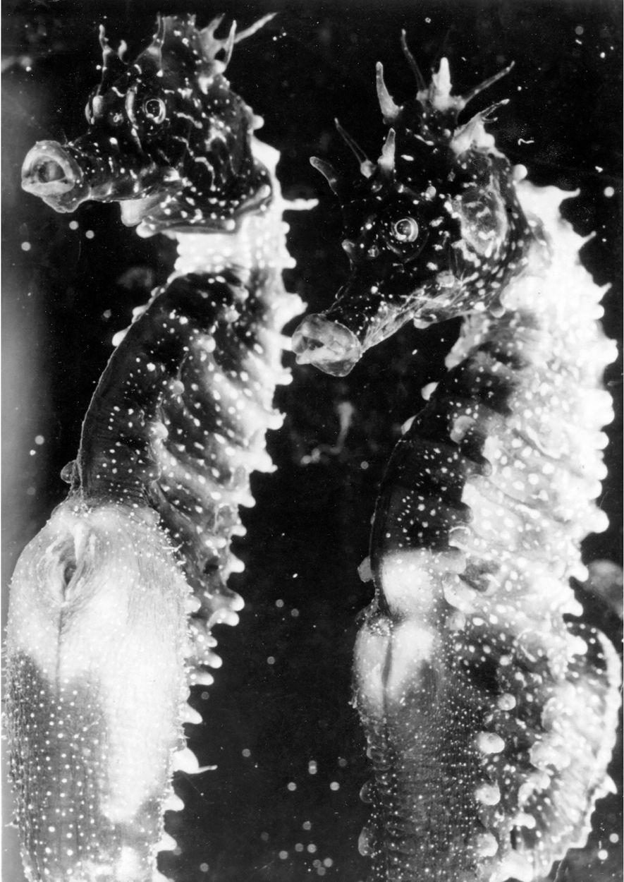 Männliche Seepferdchen, 1931.