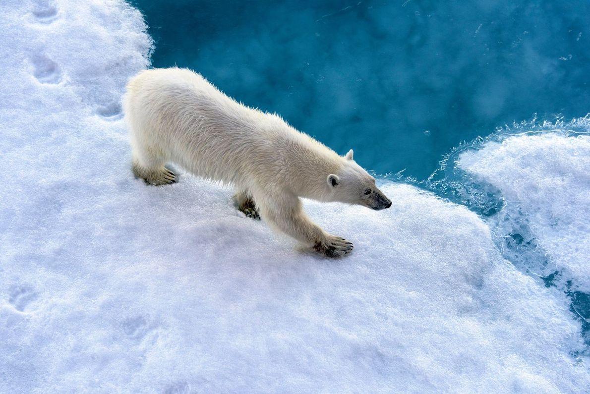 Auf dünnem Eis | Ein Eisbär am Nordpol. Durch die wärmer werdende Arktis sehen sich die ...