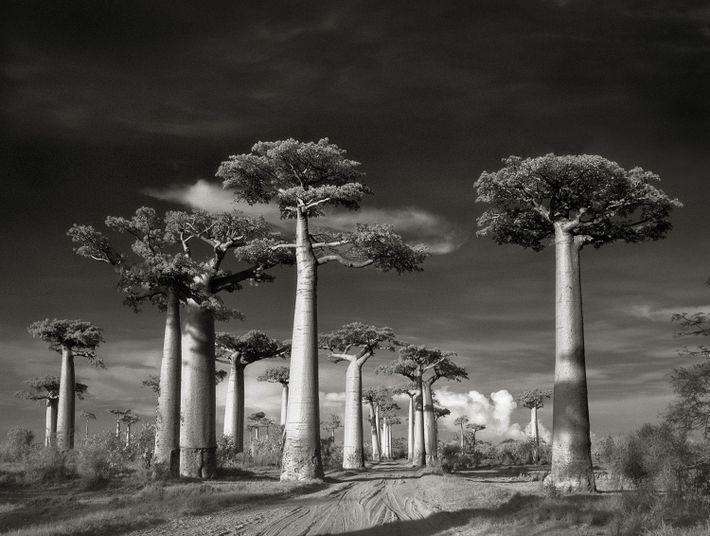 Die Straße der Affenbrotbäume