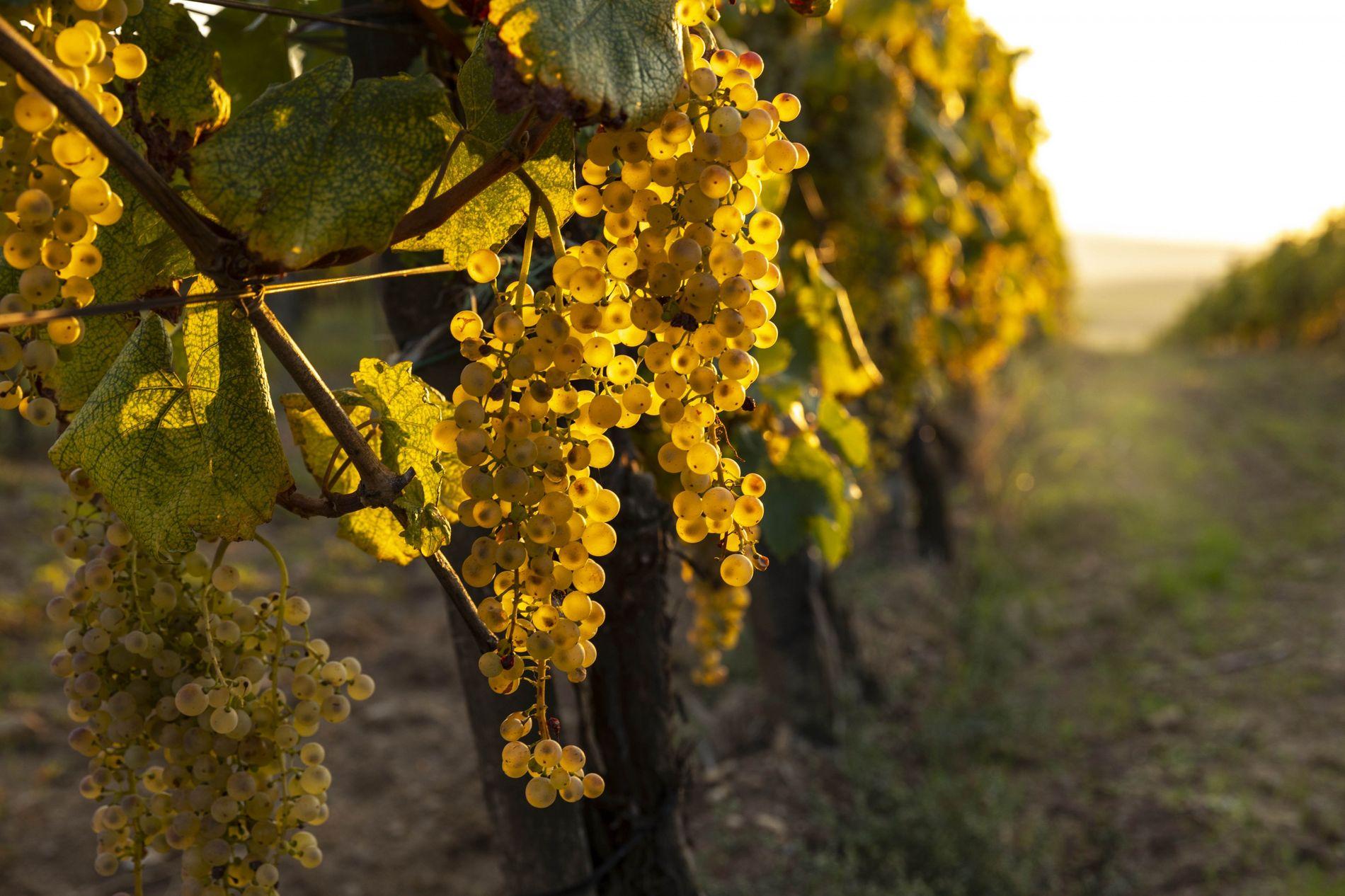 Das berühmte Tokajer Weinanbaugebiet im Nordosten Ungarns ist für seinen trockenenFurmint und den lieblichen Tokaji Aszú ...