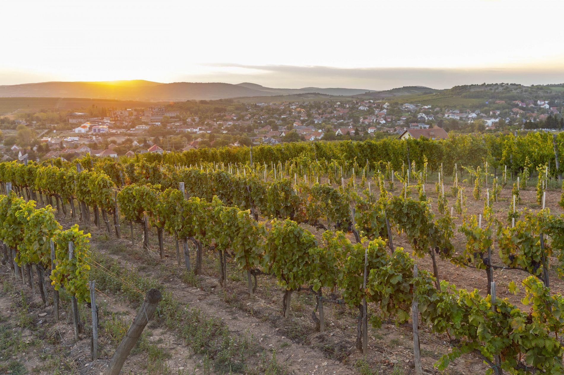Sonnenuntergang über den Tokajer Weinbergen. Weine aus dieser Region sind dank der Mischung aus Löß und ...