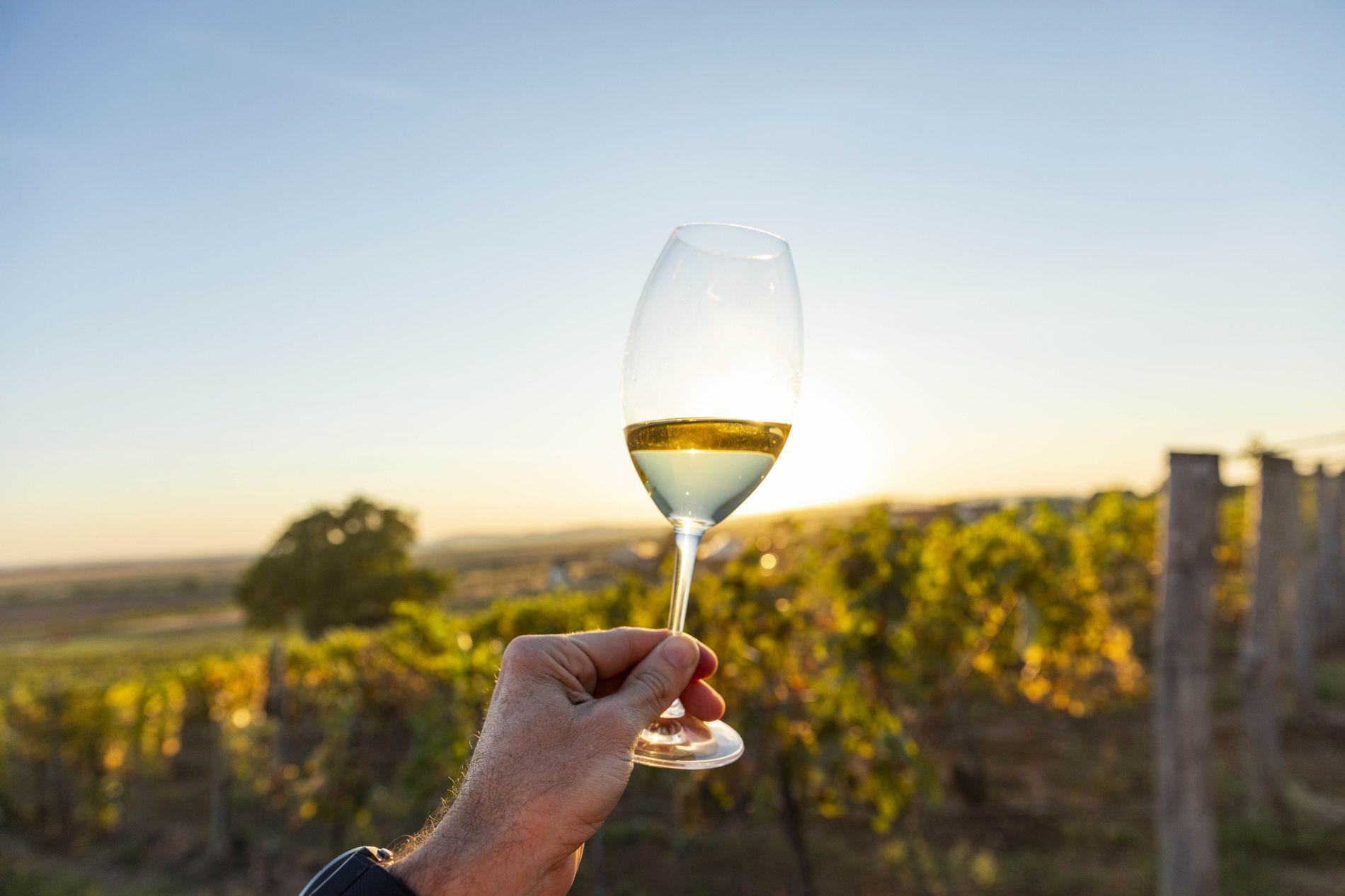 Ein Winzer genießt in seinem Weinberg ein Glas Tokajer. Die Wetterbedingungen der Region bestimmen, ob ein ...