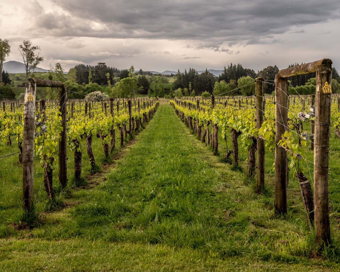 Das Weingut Neudorf hat sich auf die Produktion bestimmter Weiß- und Rotweine spezialisiert, darunter Pinot Noir, ...