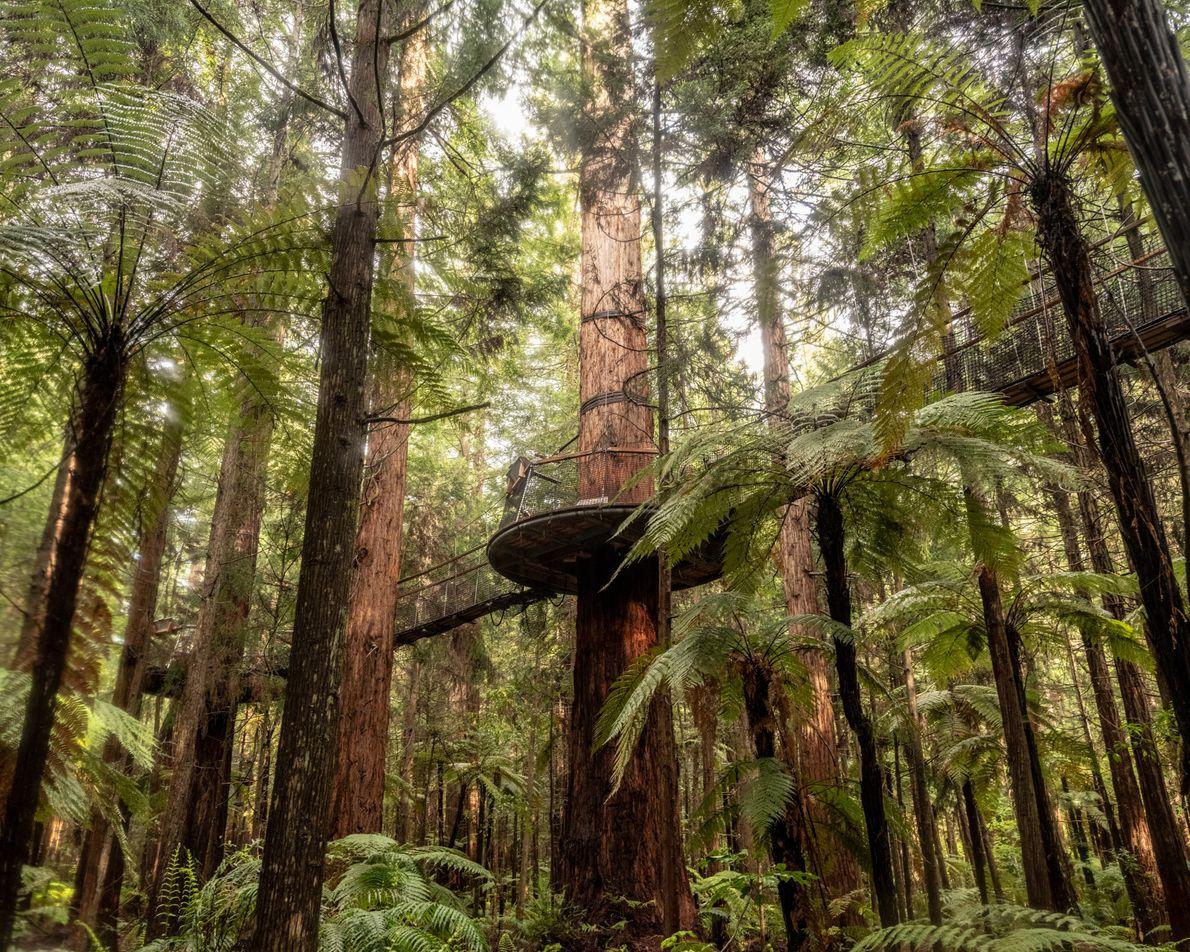 Der Whakarewarewa Forest in Rotorua verfügt über einen Baumwipfelweg (den Redwoods Treewalk). Auf dem Netzwerk aus ...