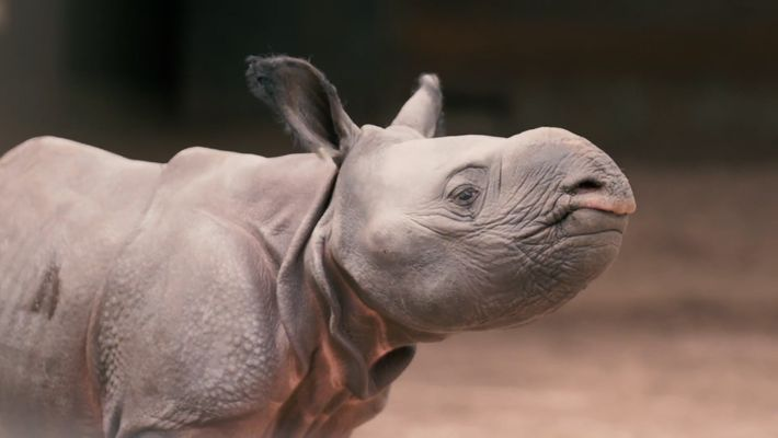 Seltenes Nashornbaby in britischem Zoo geboren
