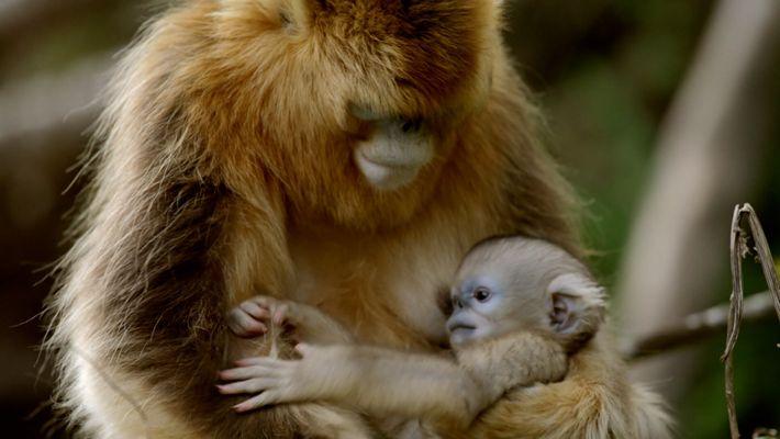 Babyfieber bei den Goldstumpfnasen