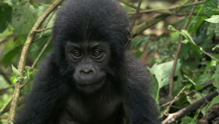 Diese Frau zog ein Gorillababy auf, dessen Mutter getötet wurde