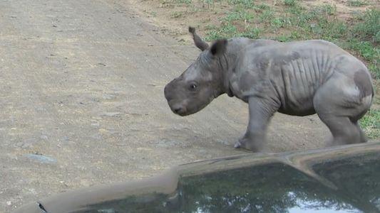 Nashorn-Baby legt sich mit einem Auto an