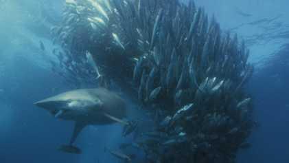 Fressrausch bei den Schwarzspitzenhaien