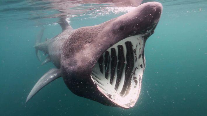 Körperpflege bei Riesenhaien