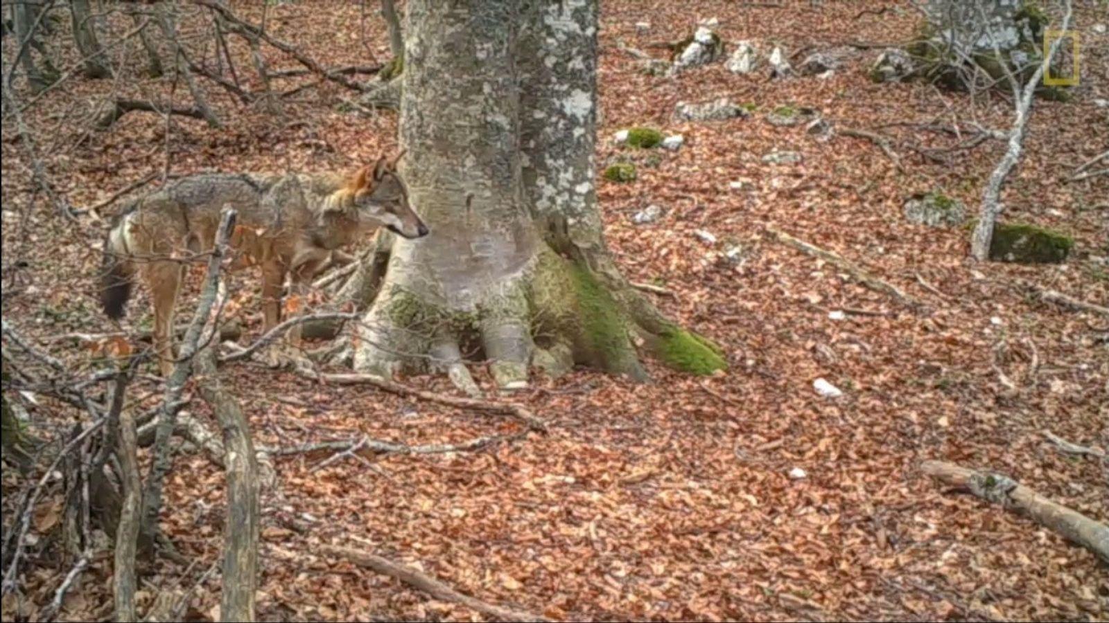 Wolf und Baum