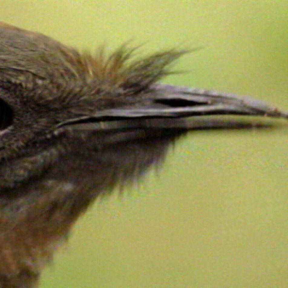Kettensäge & Autoalarm: Vogel mit Gesangstalent