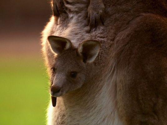 Einmalige Bilder einer Känguru-Geburt