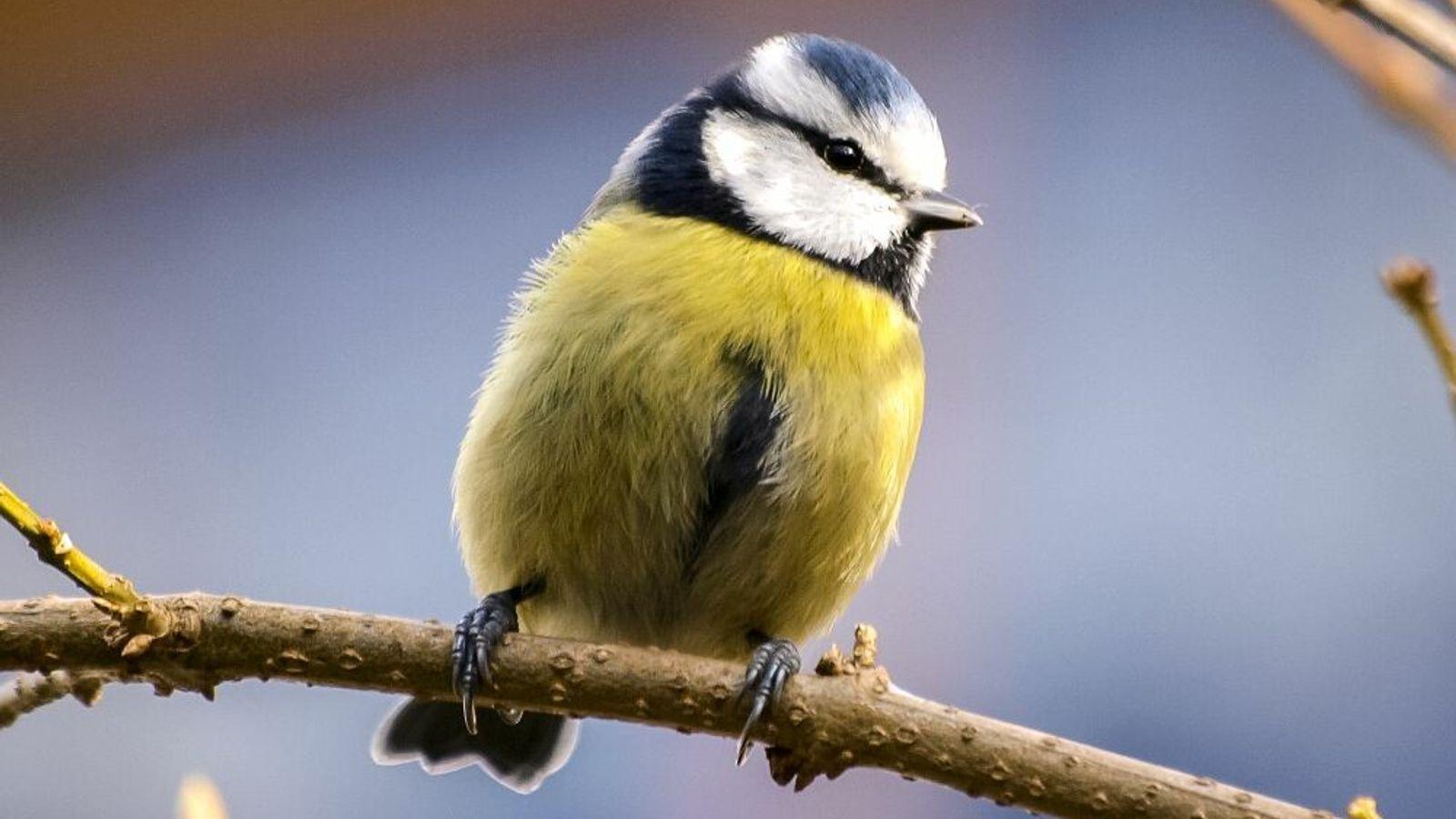 Die Blaumeise ist die bunteste heimische Meise und der einzige blau-gelbe Vogel Europas. Sie ist nicht ...