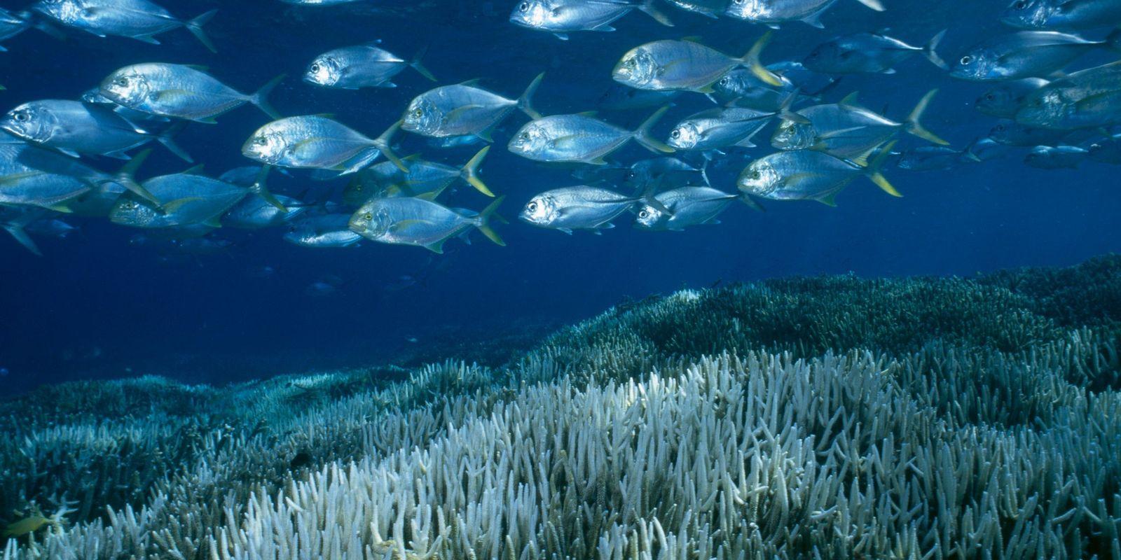 Die Ozeanerwärmung bleicht zwei Drittel des Great Barrier Reef aus