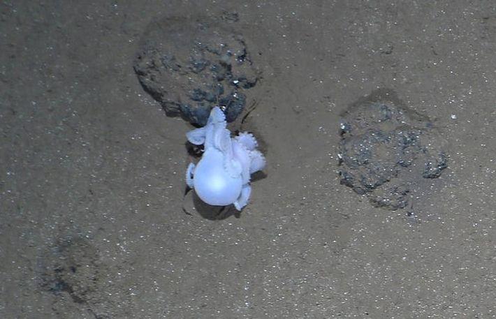 Typisches Verhalten: Ein Tieefseekrake sitzt am Grund des Peru-Beckens auf einer Manganknolle. Das Foto wurde mit ...