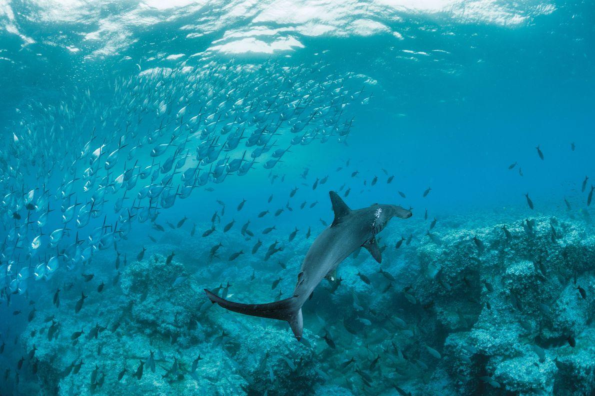 Ein Bogenstirnhammerhai zieht an einem Schwarm Stachelmakrelen vorbei. Bei den hellen Flecken auf seinem Rücken handelt ...
