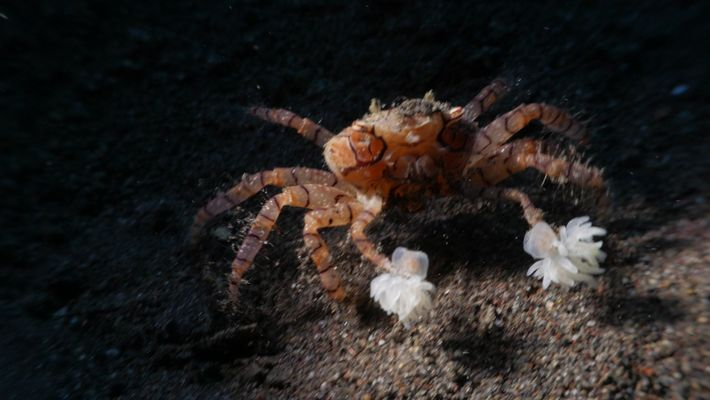 """Pompom-Krabben """"züchten"""" kleine Anemonen zur Verteidigung"""