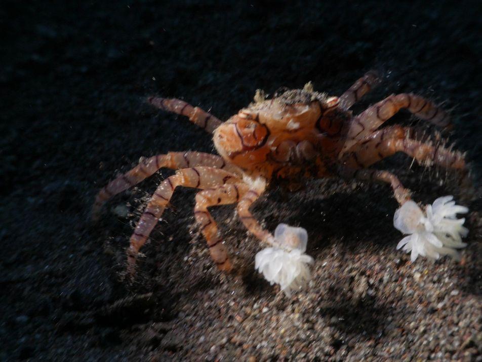 VIDEO   Die boxende Krabbe