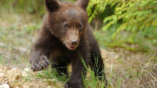 Die Rückkehr der Bären