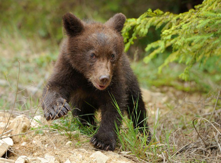 Die Bären kommen