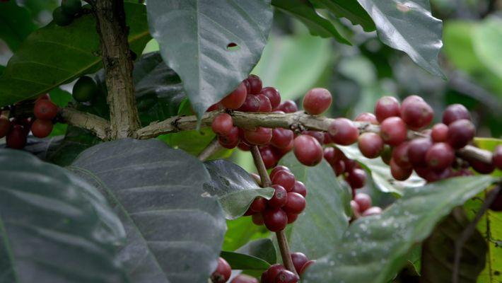 So schafft Agroforstwirtschaft eine Zukunft für den Kaffee in Guatemala
