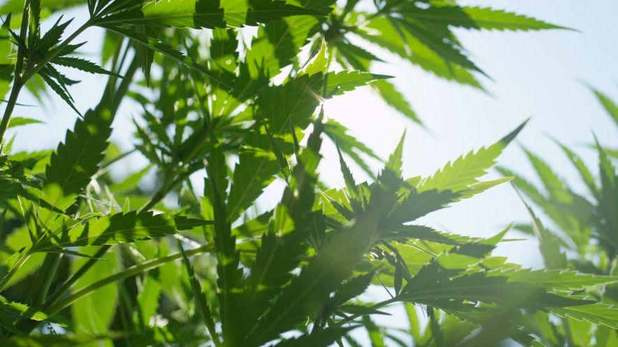 Wissen kompakt: Cannabis