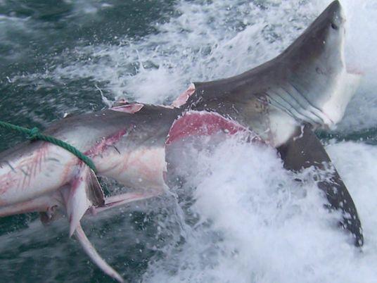 Kannibalismus unter Haien