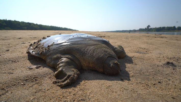 Von der Speisekarte in die Freiheit: Seltene Schildkröte gerettet
