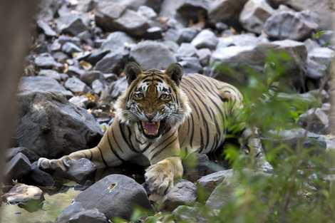 Sieben Erstaunliche Fakten über Tiger National Geographic