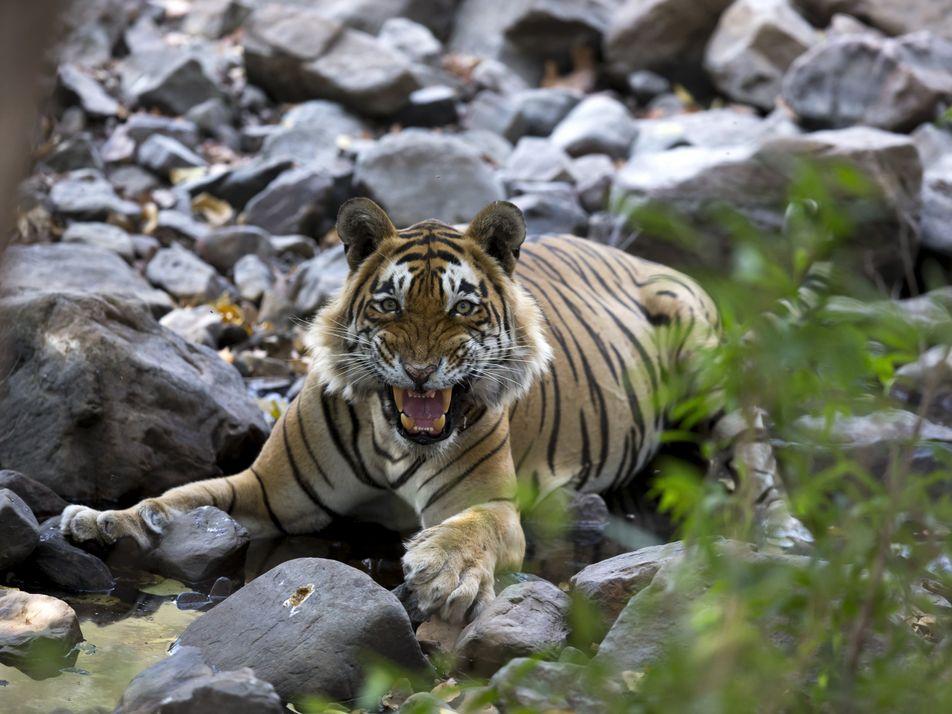 Sieben erstaunliche Fakten über Tiger
