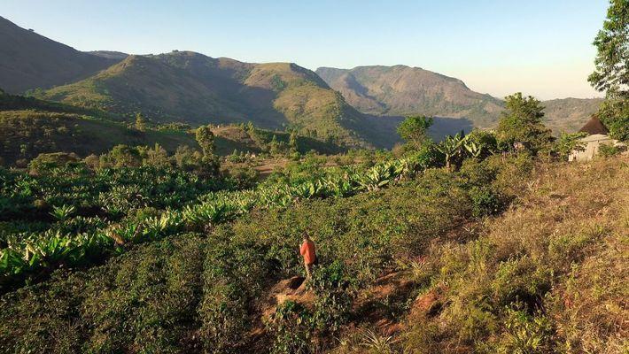 Kaffeeanbau für eine bessere Zukunft in Simbabwe