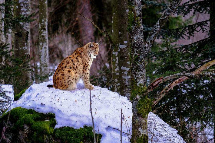 Seltene Begegnung im Bayerischen Wald. Luchse sind scheue Einzelgänger.