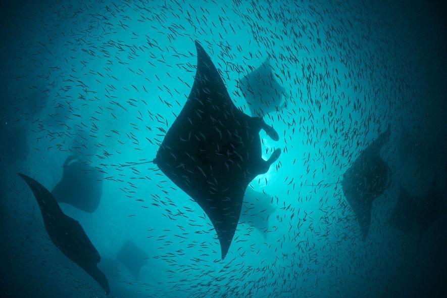 Während des Südwest-Monsuns ernähren sich sowohl Mantarochen als auch riesige Köderfischschwärme von den mikroskopischen Lebewesen, die ...