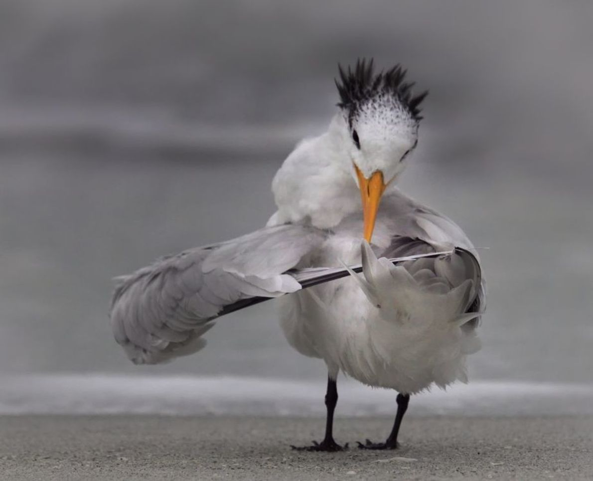 """Tern Tuning Its Wings"" 