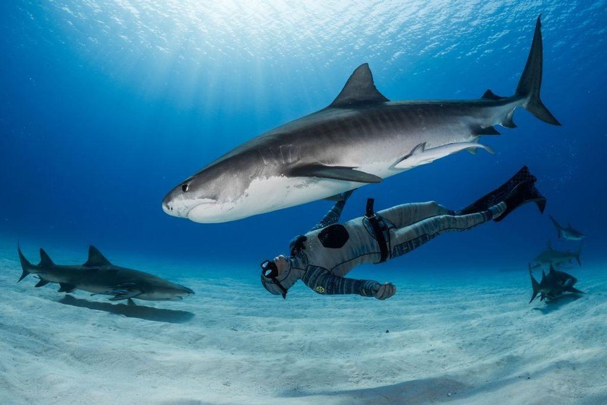 Der Freitaucher Michael Dornellas schwimmt vor einem Strand auf den Bahamas unter einem Tigerhai.   ...