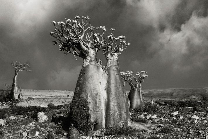 Wüstenrose Wadi Fa Lang