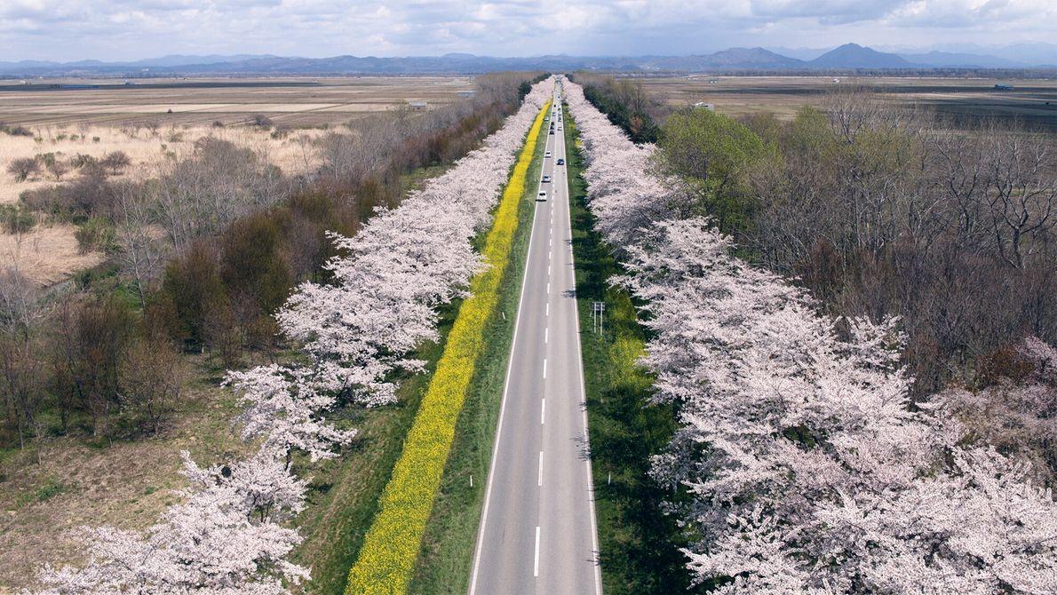 Die Sakura-Nanohana Road.