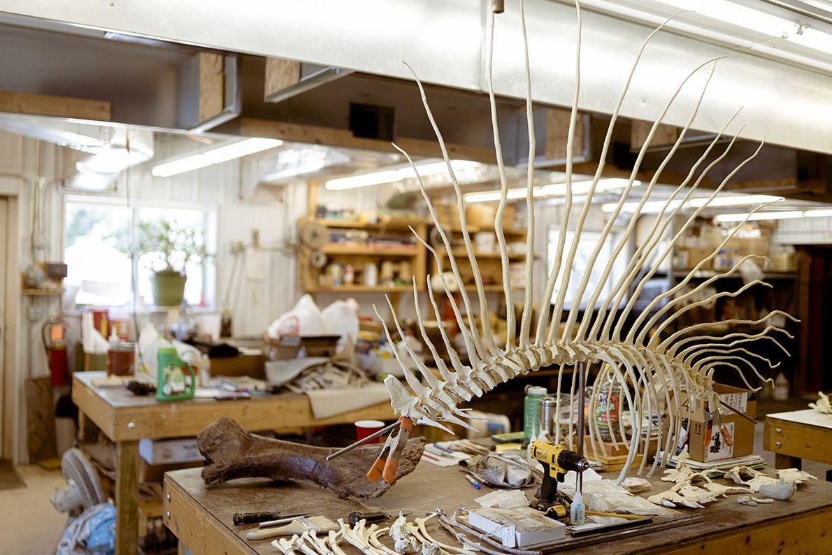 Dimetrodon ist ein aus der Gruppe der Synapsiden stammender Fleischfresser. Er lebte in einer Periode, die ...