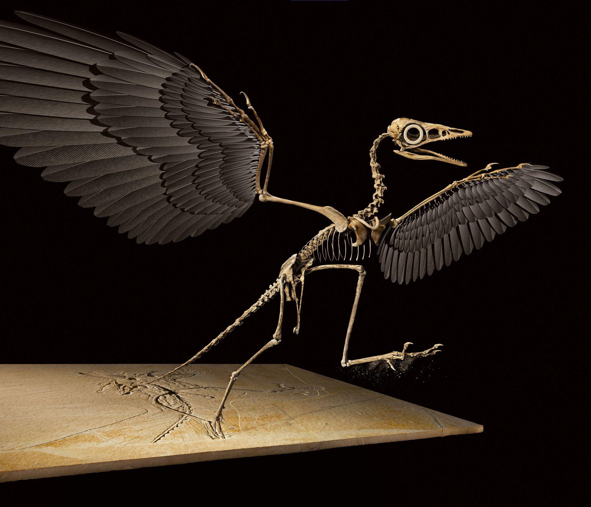Vorfahr der Vögel: der Archäopteryx. Dieses dreidimensionale digitale Modell wurde durch Röntgenverfahren und Fotogrammetrie möglich.