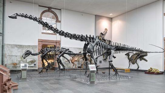 Diplodocus im Senckenberg-Museum