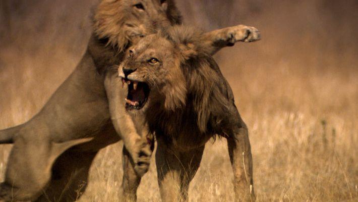 Beim Revierstreit verstehen Löwen keinen Spaß