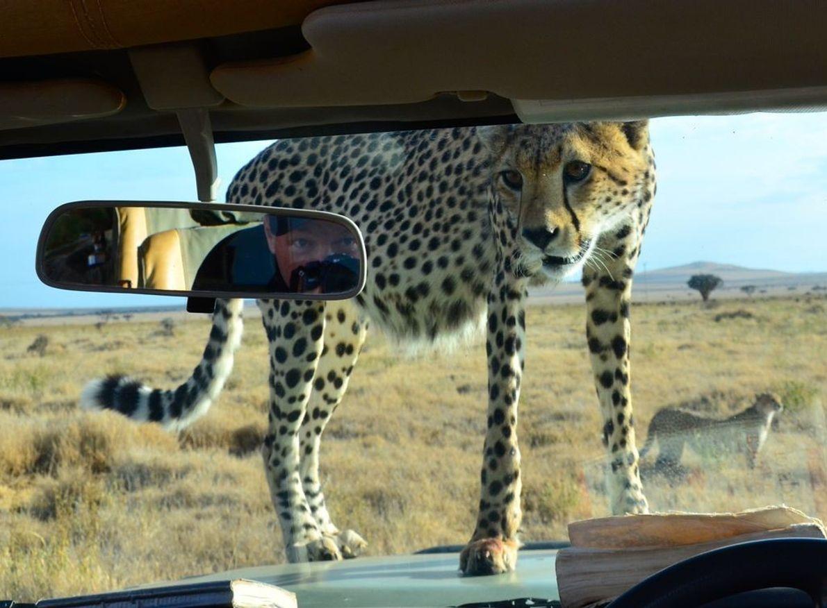 Gepard auf Motorhaube