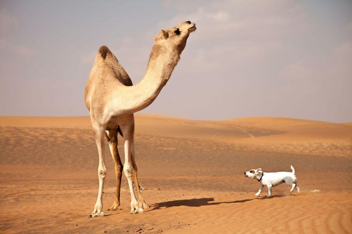 Jack Russel und Kamel