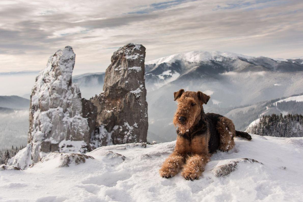 Airedale Terrier im Schnee