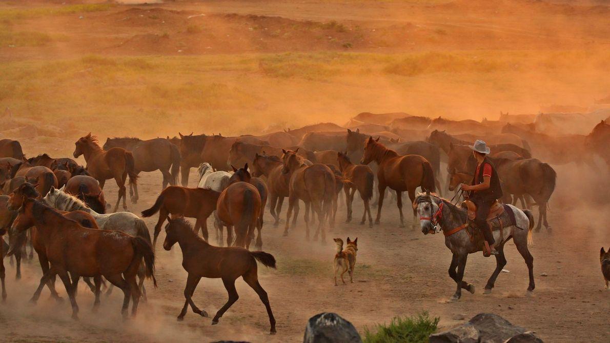 Hütehund und Pferde