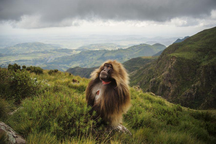 Ein zotteliger Dschelada blickt über das Guassa-Plateau im Hochland von Äthiopien. Hier haben Hunderte Exemplare der …
