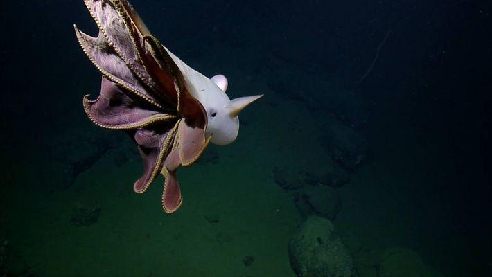 Dieser Dumbo-Oktopus ist ein kleiner Star der Tiefsee