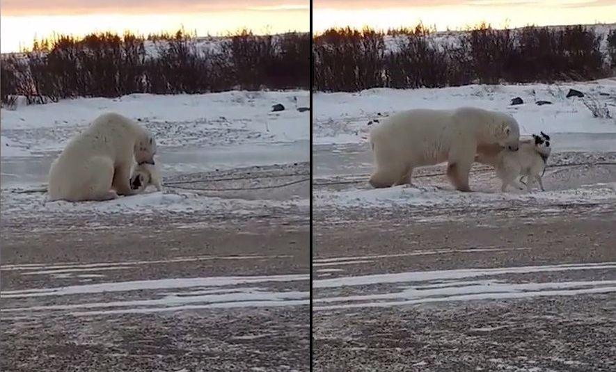 Ungewöhnliche Begegnung zwischen Eisbär und Schlittenhund